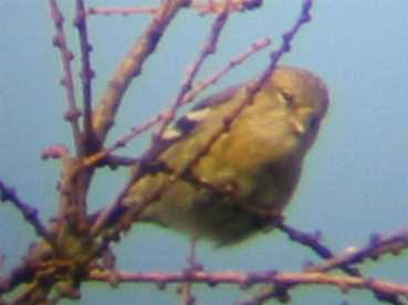 A Two-barred Crossbill at Sandringham (11/12/02)