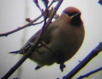 A Bohemian Waxwing at St.Neots (15/01/03)