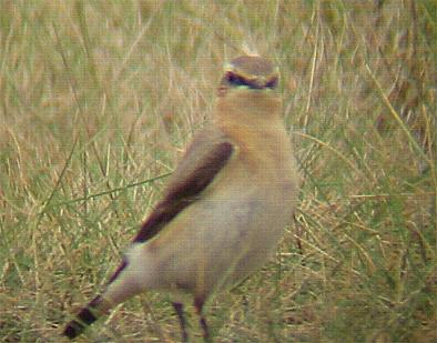 A Wheatear on Blakeney Point (22/5/02