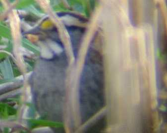 A White-throated Sparrow at Flamborough 23/10/02