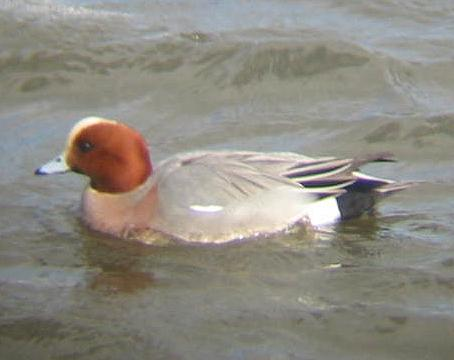 A Wigeon at Welney (09/03/02)