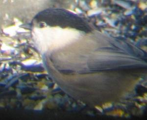 A Willow Tit at RSPB Ouse Washes (27/11/03)