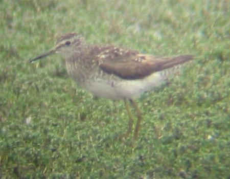A Wood Sandpiper at Titchwell (6/6/02)