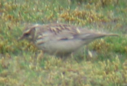 A Woodlark at Weeting Heath (09/05/02)