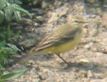 A Yellow Wagtail at Welney (15/5/03)