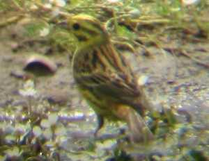 A Yellowhammer at Gedney Drove End (13/06/03)